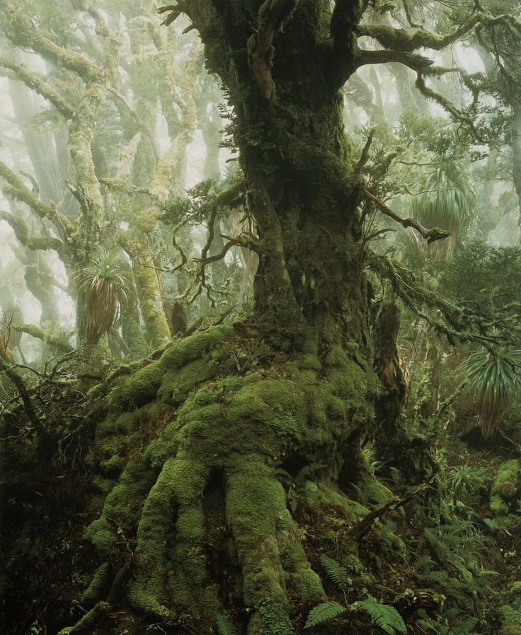The Enchanted Forest: Myrtle tree, Tasmania