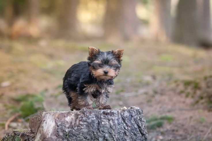 Little puppy - Little Yorkshire terrier puppy in the forrest