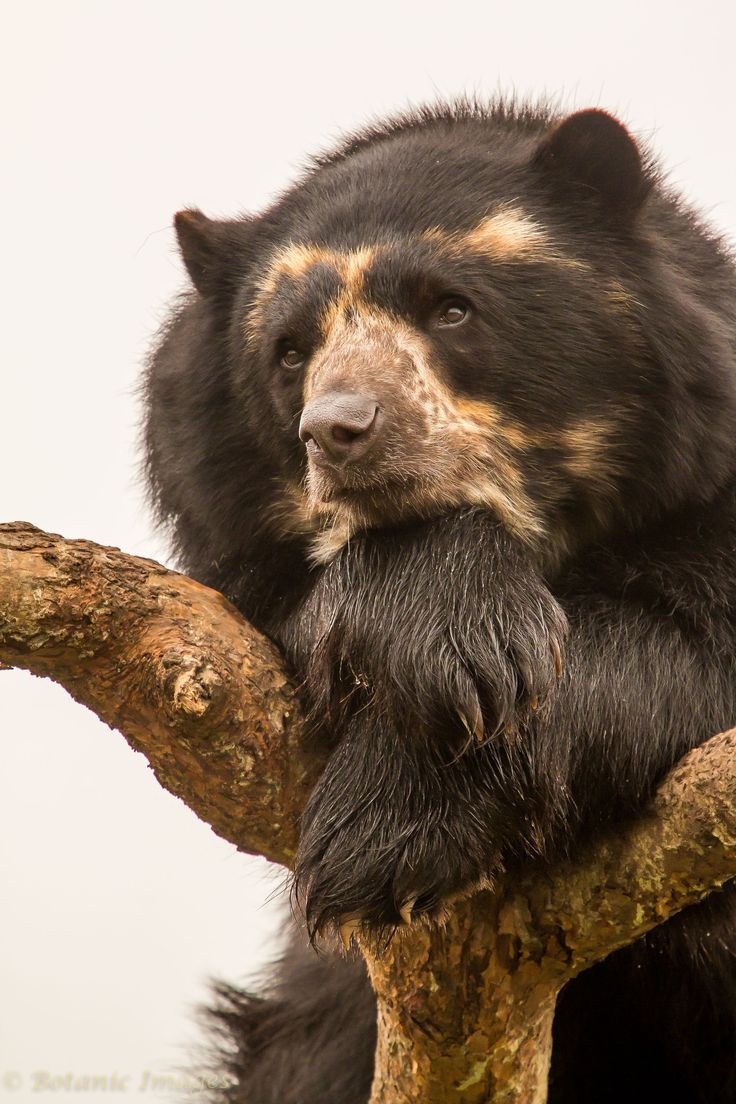 Contemplation-Spectical Bear up a tree - This Spectacled Bear was up a tree just watching the world go by.