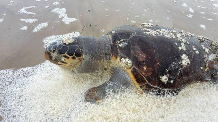 Molte tartarughe morte a riva, ma c'è chi fa il bagno e sfida il freddo  FOTO La furia delle onde