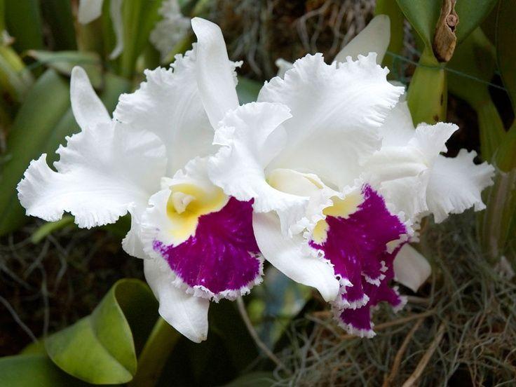 384 mejores im genes sobre flores dalias pensamientos for Cuidado de las orquideas moradas