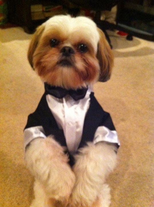 #rockytheshihtzu got his tux for the wedding #dog #shihtzu