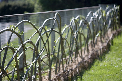 Living Willow fence - sprouting, Bembridge by Tim Johnson, via Flickr