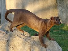 The Fossa is the largest mamalian carnivore on Madagascar compared in size to a small cougar, they hunt medium sized animals such as fish,birds,rodents, & small lemurs. The fossa were once widespread on Madagascar, now they can be found in small numbers in the countries' last remaining forests. Their opulation is considered Vulnerable by the IUCN due to their population decline over the last 20 years.