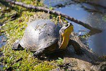 Blanding's turtle - Wikipedia