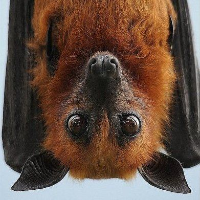 Flying Fox bat hanging out.