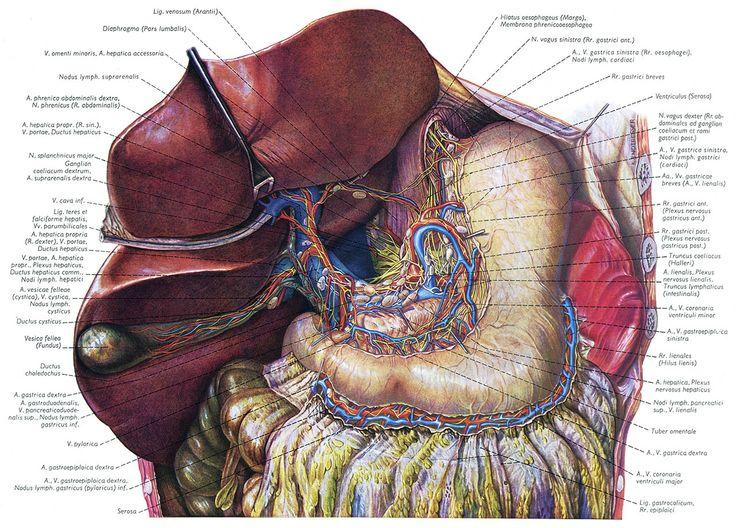 Topographische Anatomie Des Menschen («Топографическая анатомия человека»)