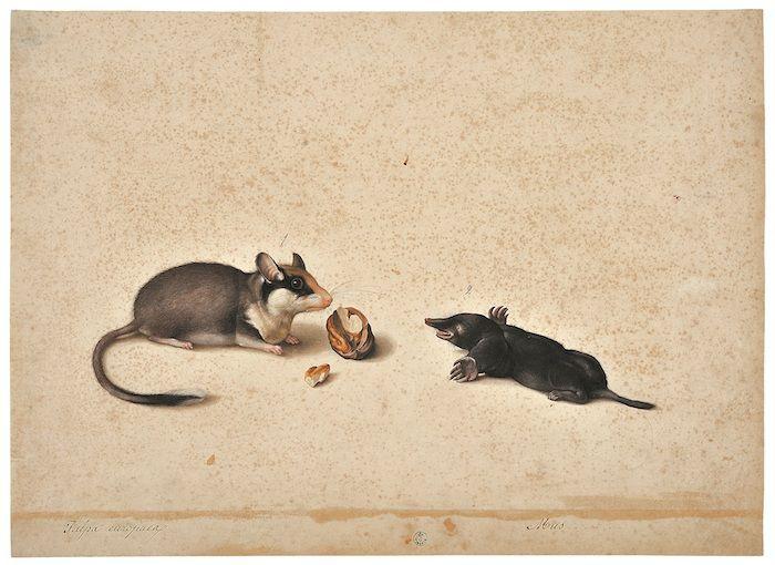 Mostra Jacopo Ligozzi Firenze - Tavole naturalistiche - I Mammiferi e i Rettili - Topo quercino (Eliomys quercinus) e talpa (Talpa sp.)