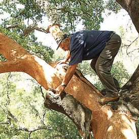 Cork is harvested from the cork oak, a tree species that is an integral part of the Mediterranean ecosystem. Cork is an environmentally-friendly material. The bark is removed manually from the tree every nine years. Cork has insulating properties, as well as being buoyant and shock resistant.