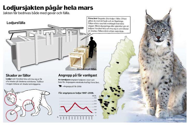 Lodjursjakt i Mars. Dagens Nyheter. #nyhetsgrafik #infografik