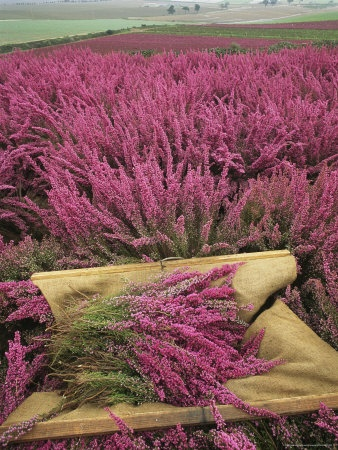 Over 5 million acres of Scotland are carpeted in heather, which blooms twice a year.  This bloom was featured in my wedding bouquet.