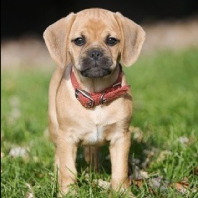 Puggle Pictures And Photos Pug Beagle Mix Pictures Puggle Pics 1 | Dog ...