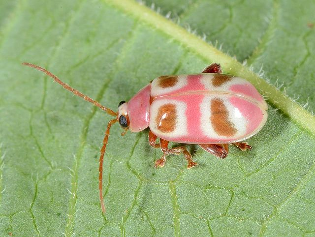 #pink Leaf #beetle. #insect