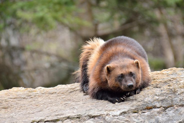 Wolverine (Gulo gulo). Photo by photos martYmage (at https://500px.com/photo/36975834/carcajou-by-photos-martymage).