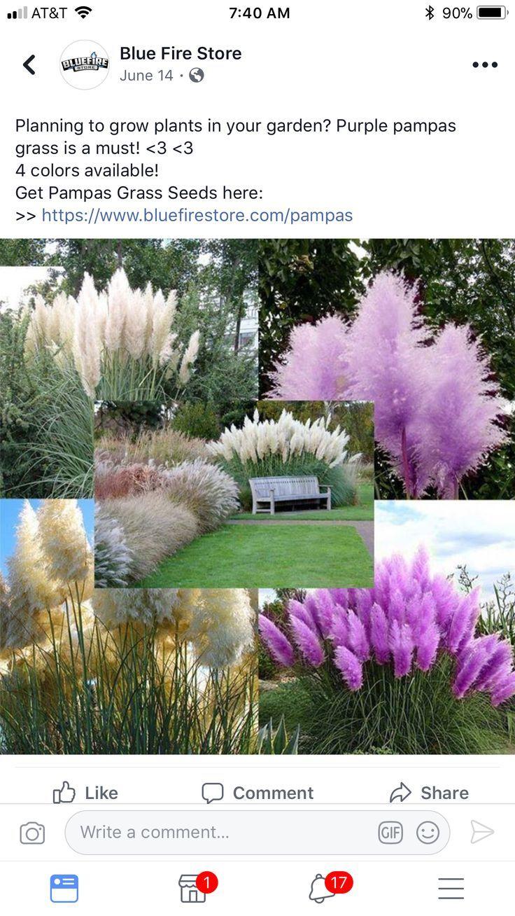 Untitled Grasses Landscaping Plants Purple Pampas Grass