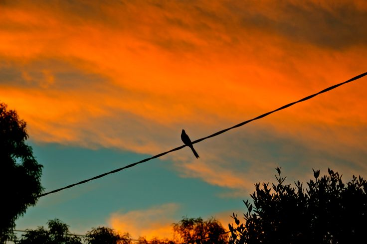 Wattle Bird on wire at Sunset over Northcote on the 24th march