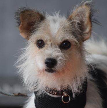 Hund, Terrier Mischling (Mischling, Hündin, 2 Jahre) in Zella - Mehlis/Thüringen