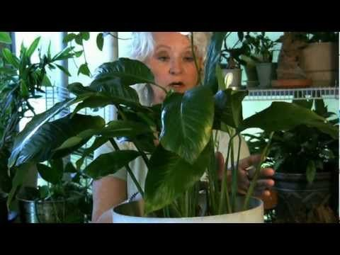 Yellow Leaves. Secrets of the Green Thumb by the Ficus Wrangler. (full disclosure: this is my mom on the video. How a professional horticulturist ended up with a perpetual plant killer as a daughter is beyond me.)