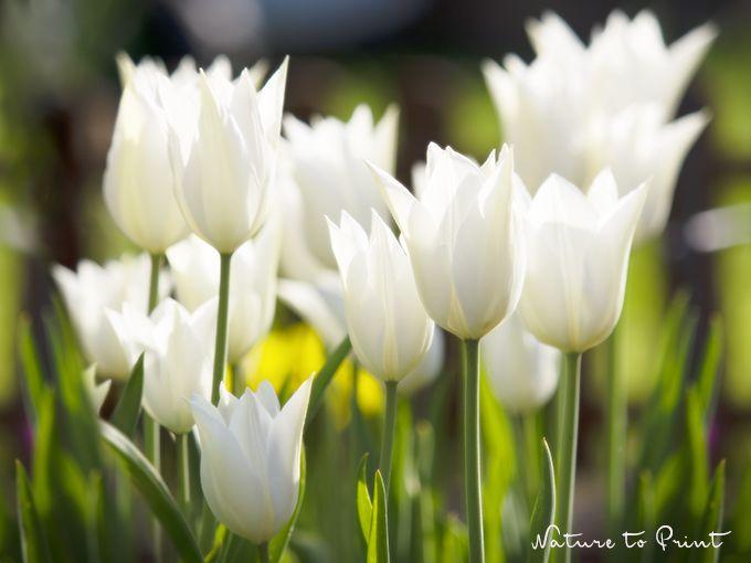 Weiße Tulpen leuchten im Garten