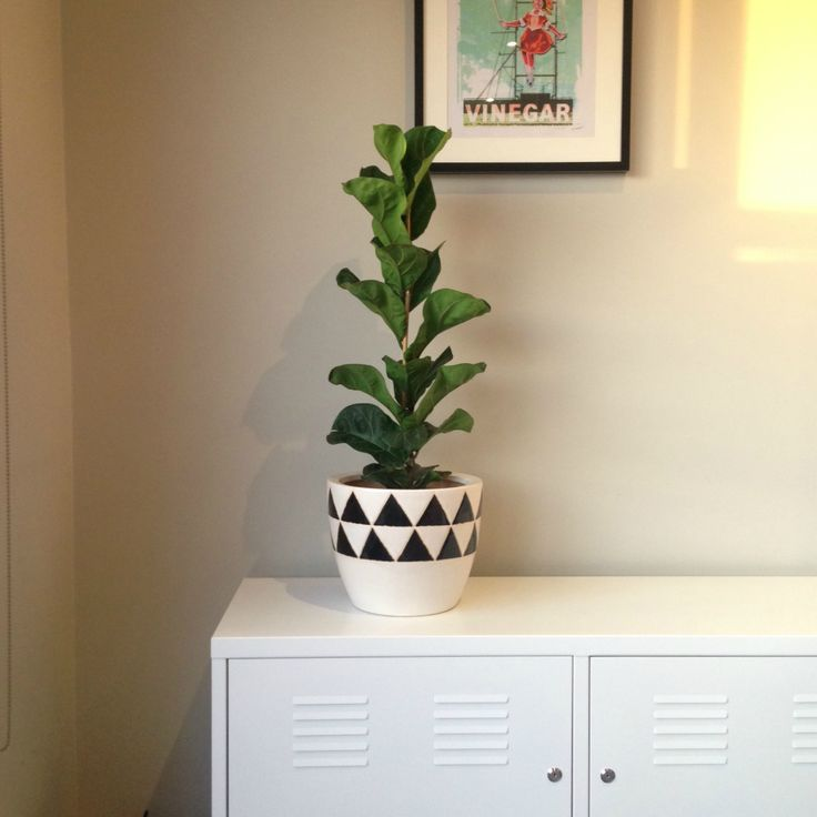 Fiddle Leaf Fig and Inca glazed pot available in-store now. #fiddleleaffig #ficuslyrata
