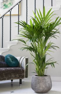 9 zasad jak uprawiać palmy pokojowe | Bambusowy sen - wszystko o bambusach ogrodowych i palmach