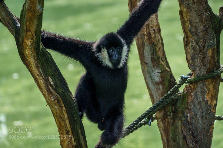 Black spider monkey (Schwarzer Klammeraffe) by matthiasfoto via http://ift.tt/1UIqnVJ