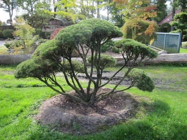 Pinus mugo mughus - Google-Suche