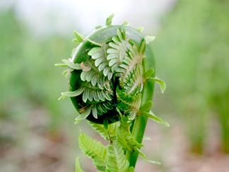 Food Under Foot: Fiddleheads    How to find and forage this spring wild food    by Wildflower Revolution