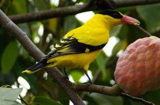 Ini salah satu burung yang sakral dari ke 3 jenis burung keramat.. MITOS ya gan.. percaya boleh, ga percaya juga boleh... hehee