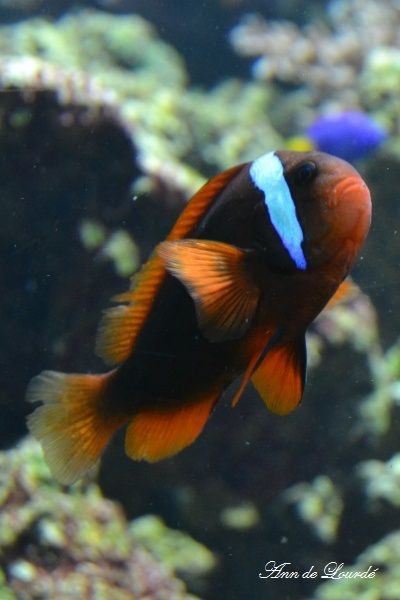 Red and Black Anemone Fish, Amphiprion Melanopus, Summer 2013, ZSL London Zoo, London, England, United Kingdom.