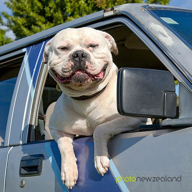 Image of the Day - To celebrate Queens Birthday weekend, what better than a beautiful bulldog! Image by Graeme Mitchell-Anyon #queensbirthday #bulldog #holidaynz #nz #newzealand #photonz #photonewzealand #potd #photooftheday
