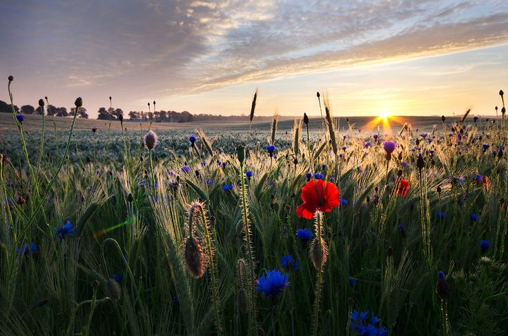 Wheat, poppies and cornflowers vol.1 - Warmia, 2012