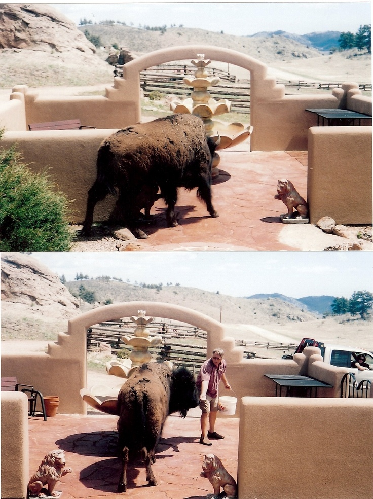 Frannie the neighbors buffalo taking a stroll through our courtyard here in Livermore, CO.
