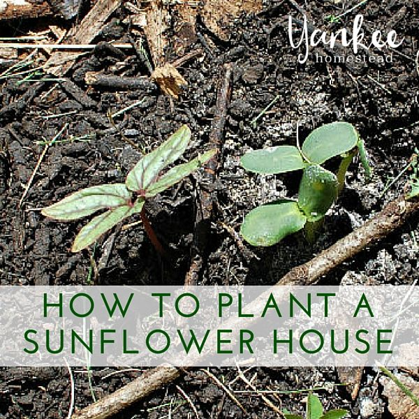 Our Sunflower House is growing! Check out these simple instructions for planting your own sunflower house.