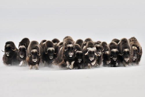 muskoxMusk Oxen, Muskoxen, Nature, Wildlife Photography, Charging, Environnement Wildlife, Wildlife Photographers, Eric Pierre, Animal