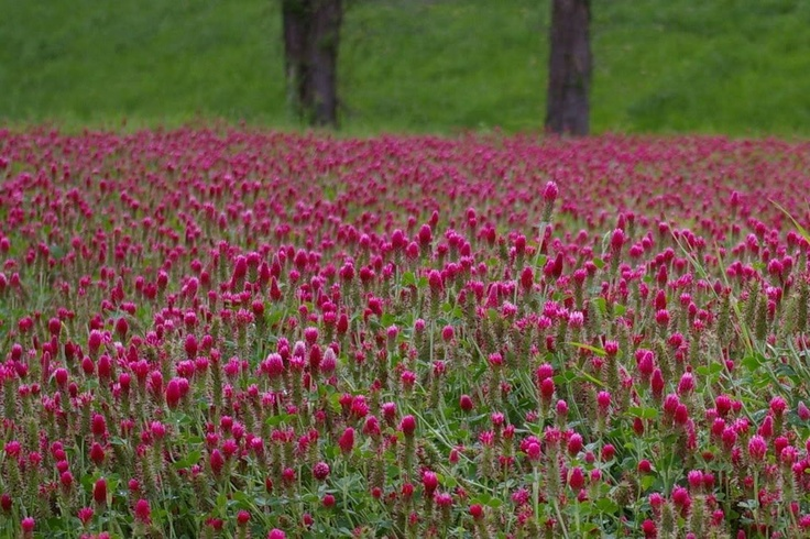 CRIMSON CLOVER (Carnation, French, or Italian Clover) Trifolium Incarnatum Flower Seeds/wildlife friendly, nitrogen fixing, cover crop