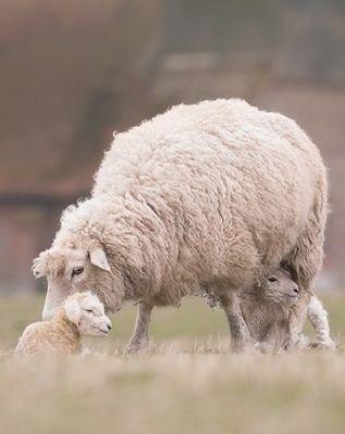 Makes me smile :-) #animals #nature #sheep