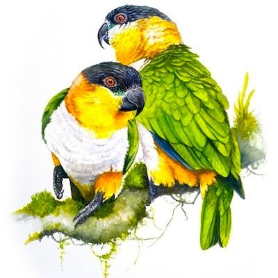 Black Headed Caique Parrots watercolour - Absolute Hooligan art by Tim Niall-Harris