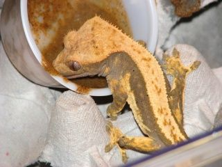 fiche d'élevage Gecko à crête