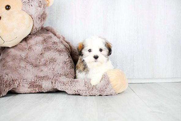 Puppies For Sale Columbus Ohio Sunrise Pups Small Breed Puppies Dog S Puppies Puppies For Sale Dogs