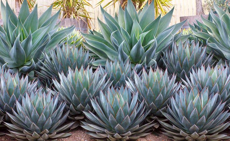Agave parryi 'Blue Flame' (2 ft high and 3 ft wide) in the back and 'blue glow' in the front. Can take partial shade, needs moderate to minimal water. Also looks great in containers and tolerates Southern California alkaline water.