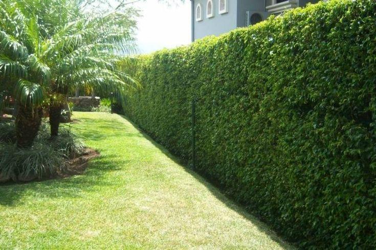 fotos y nombres de arbustos para cercos - Buscar con Google