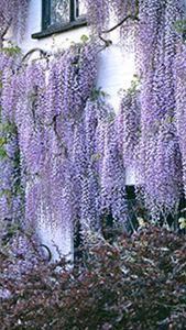 Wisteria Floribunda Macrobotrys - Japanese Lilac Wisteria
