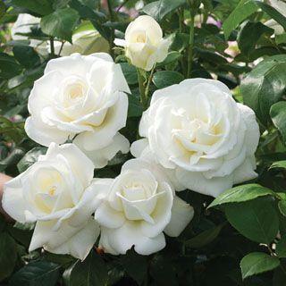 White Garden Rose Bush 149 best rose images on pinterest | flowers, pretty flowers and