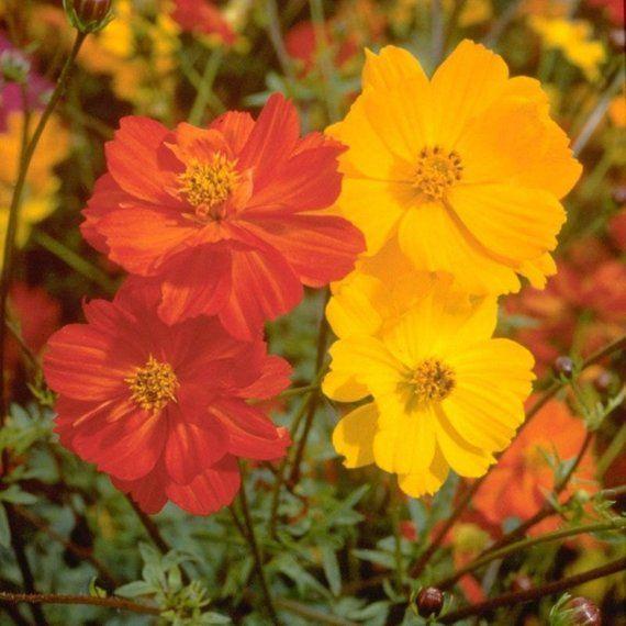 Cosmos Seeds Bright Lights Cosmos Sulphureus Colorful Annual 25 Seeds Hardy Plants Flowering Trees Wildflower Seeds