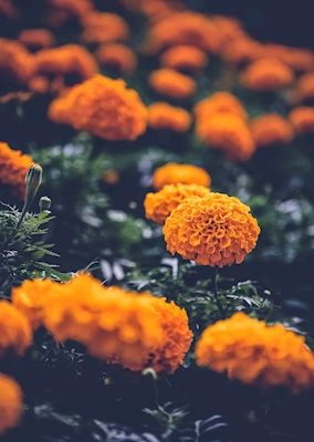 Daniel Jirblad - orange flower. A photograph of orange flowers with green leaves.