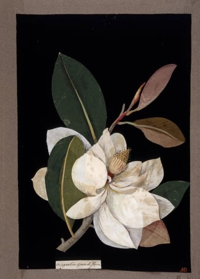 mary delaney botanicals | Mary Delany (1700-1788) was an artist and writer during the Victorian ...