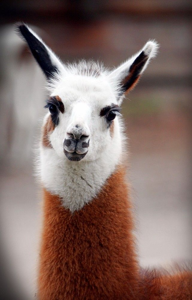 Amazingly cute lama from a zoo in South America.