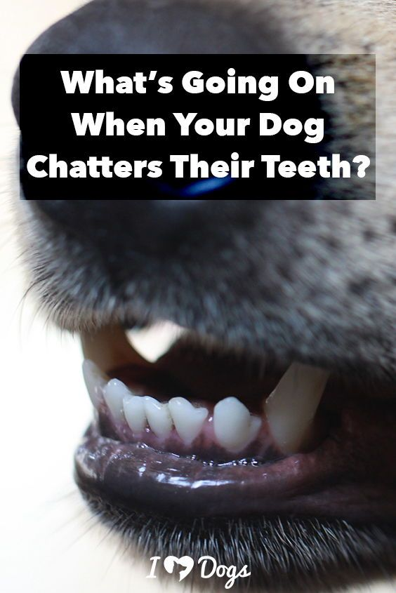 What S Going On When Your Dog Chatters Their Teeth Dog Training Obedience Dog Clicker Training Dog Obedience