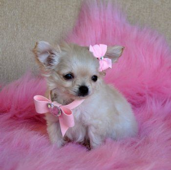 Teacup Chihuahua PuppyStunning Long Hair Princess16oz at 10 weeksSOLD Found Loving New Family!